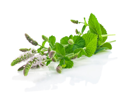 Flowers and leaves of fresh mint on a white background.